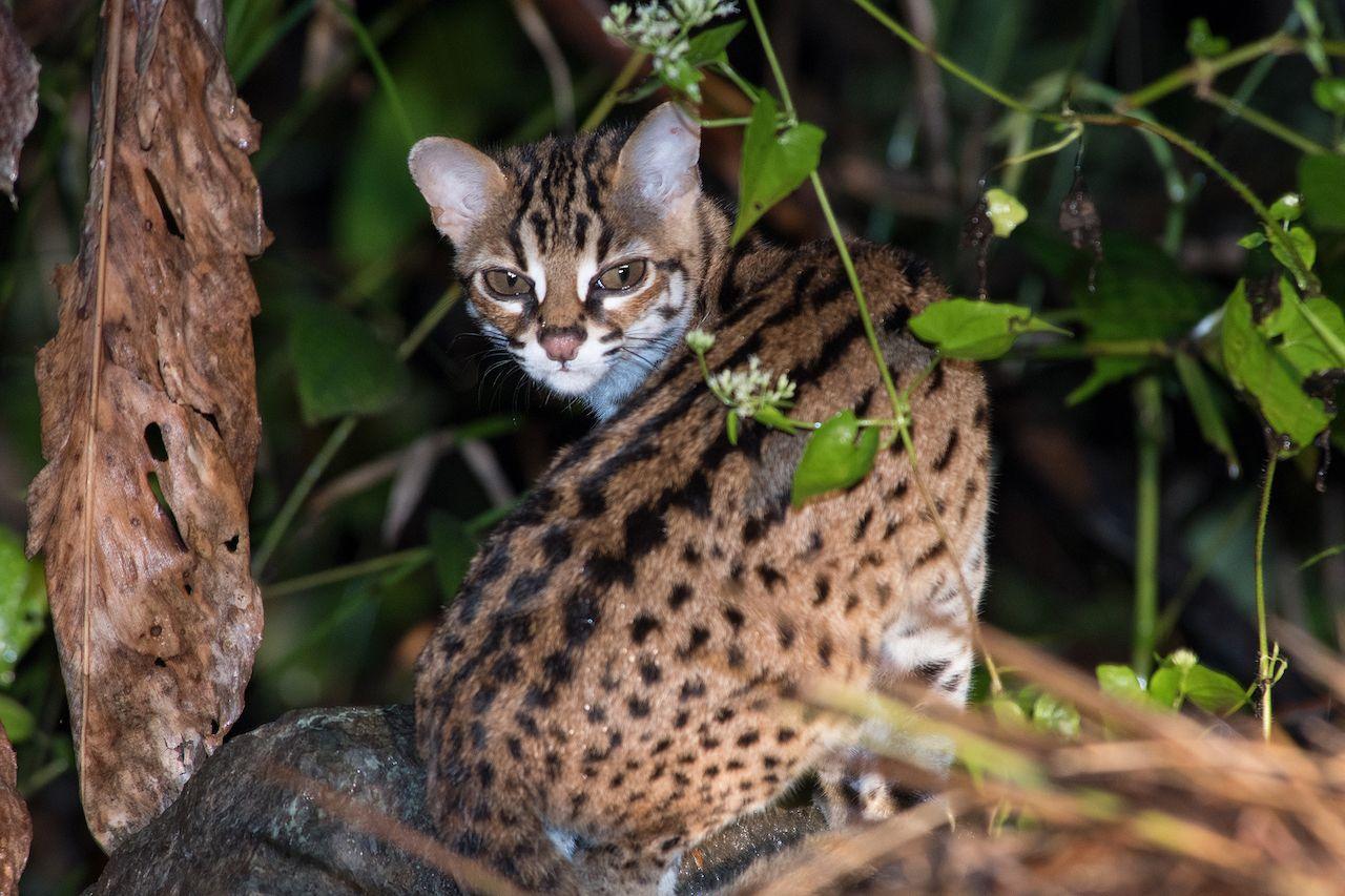 Felis libyca - The African Wild Cat