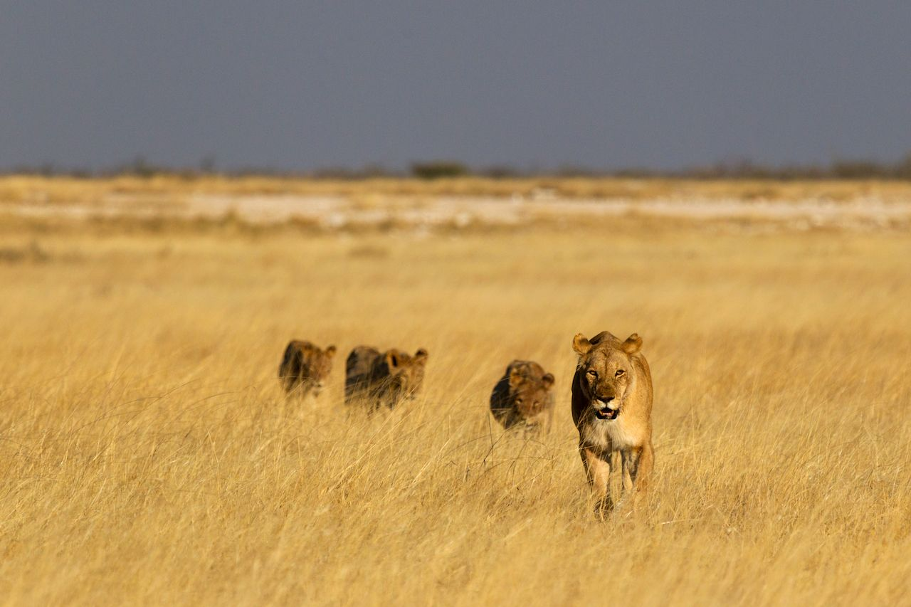 lion walking in grass at Etosha National Park, Namibia