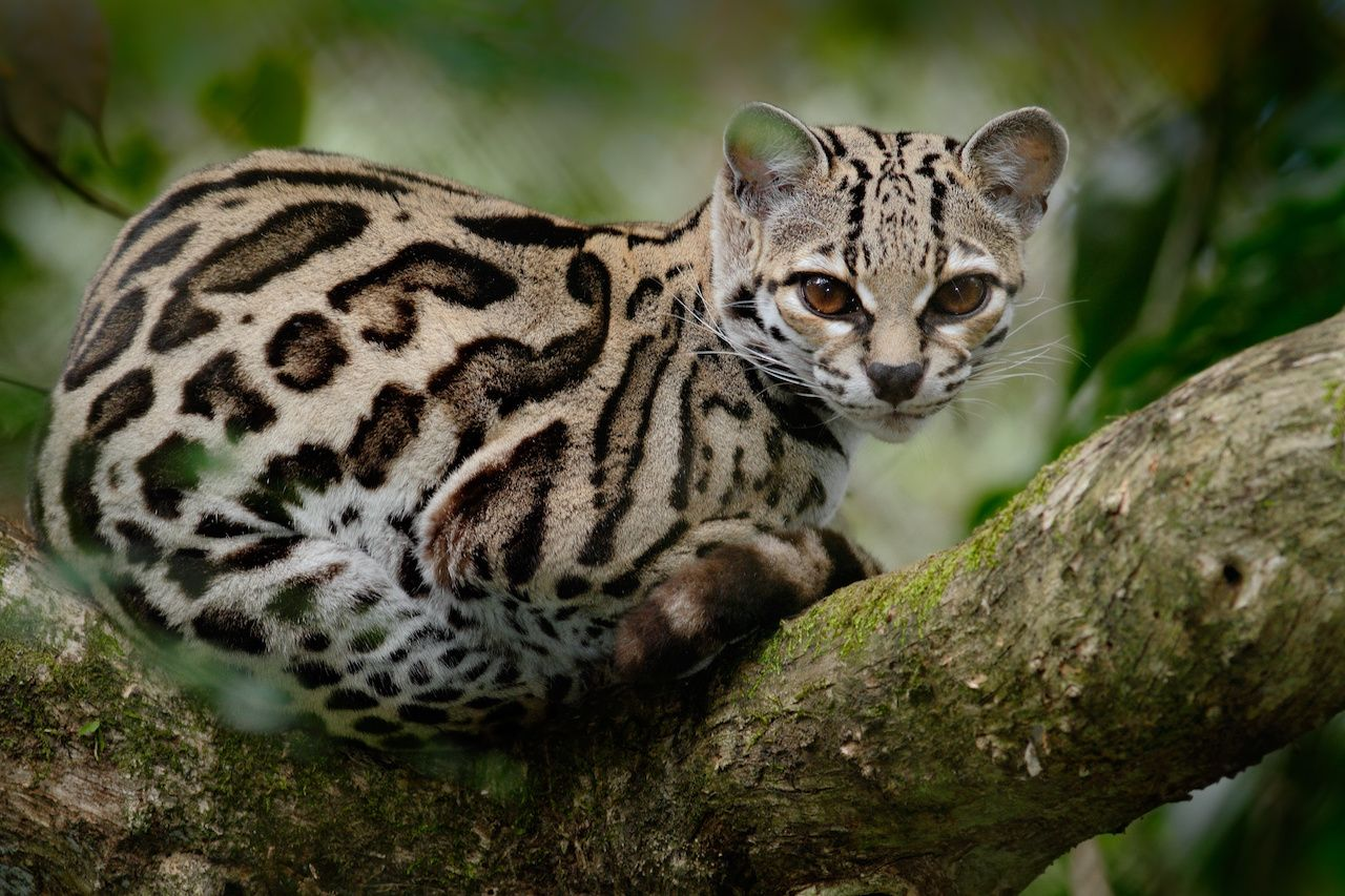 Smallest wild cats in the world