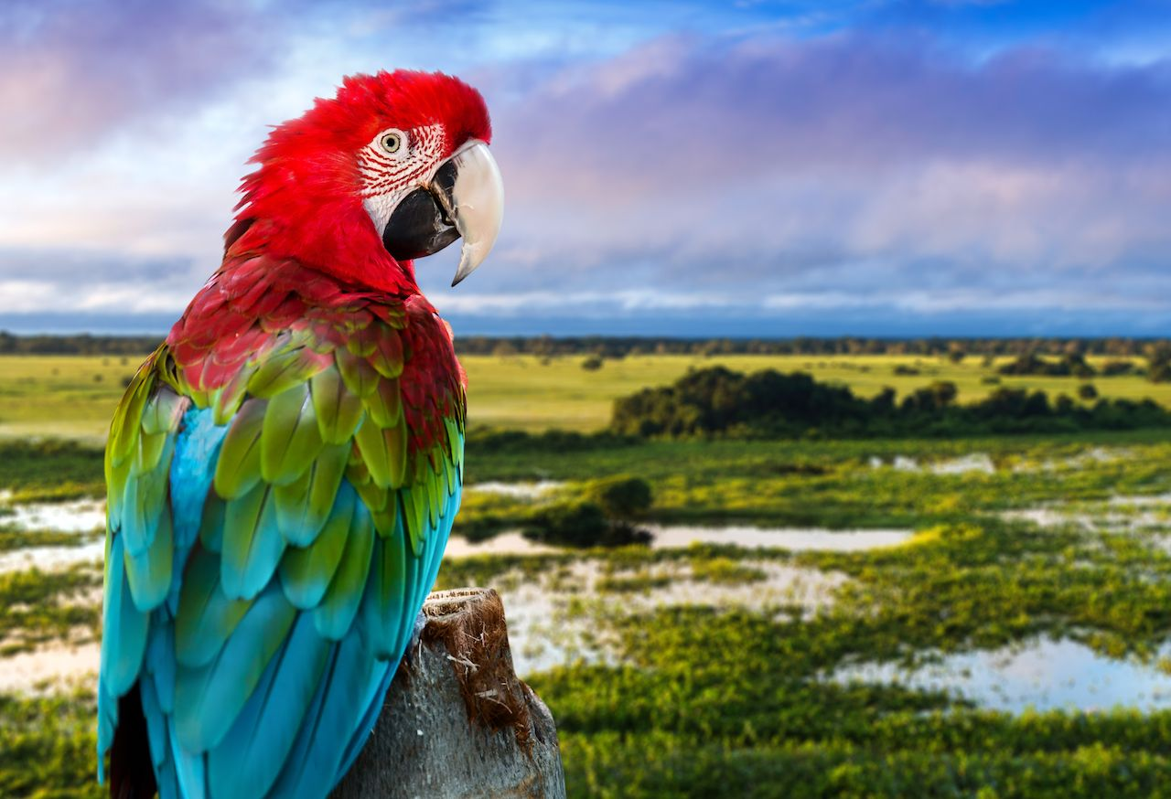 red macaw against a natural background