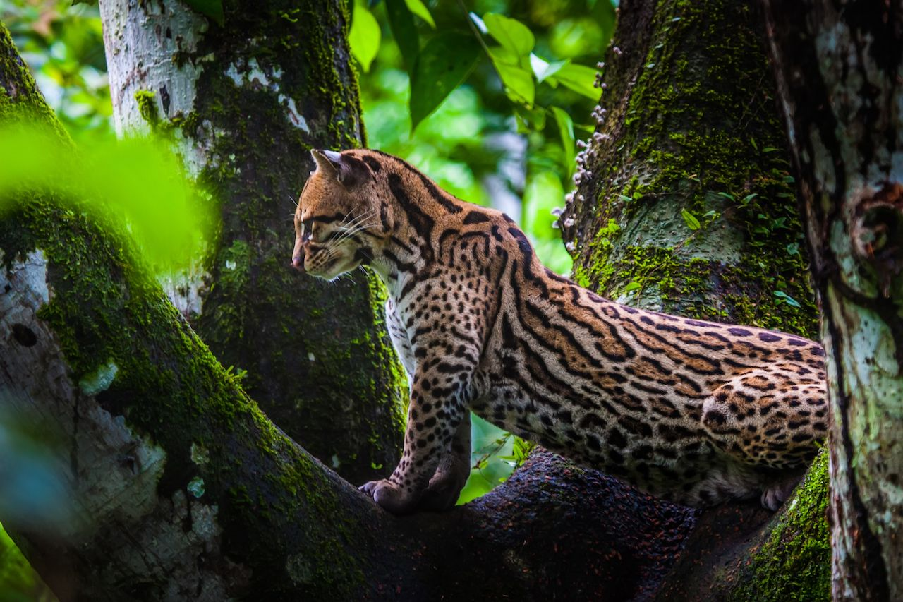 wild cat in a tree