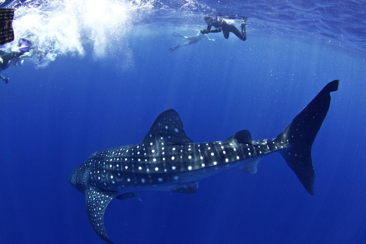 A huge whale shark turns towards his admirers in Utila Honduras