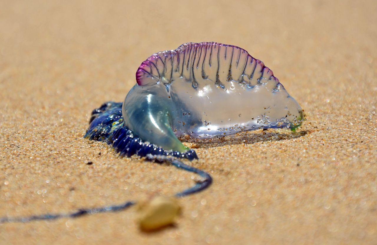 Jellyfish invasion in Australia