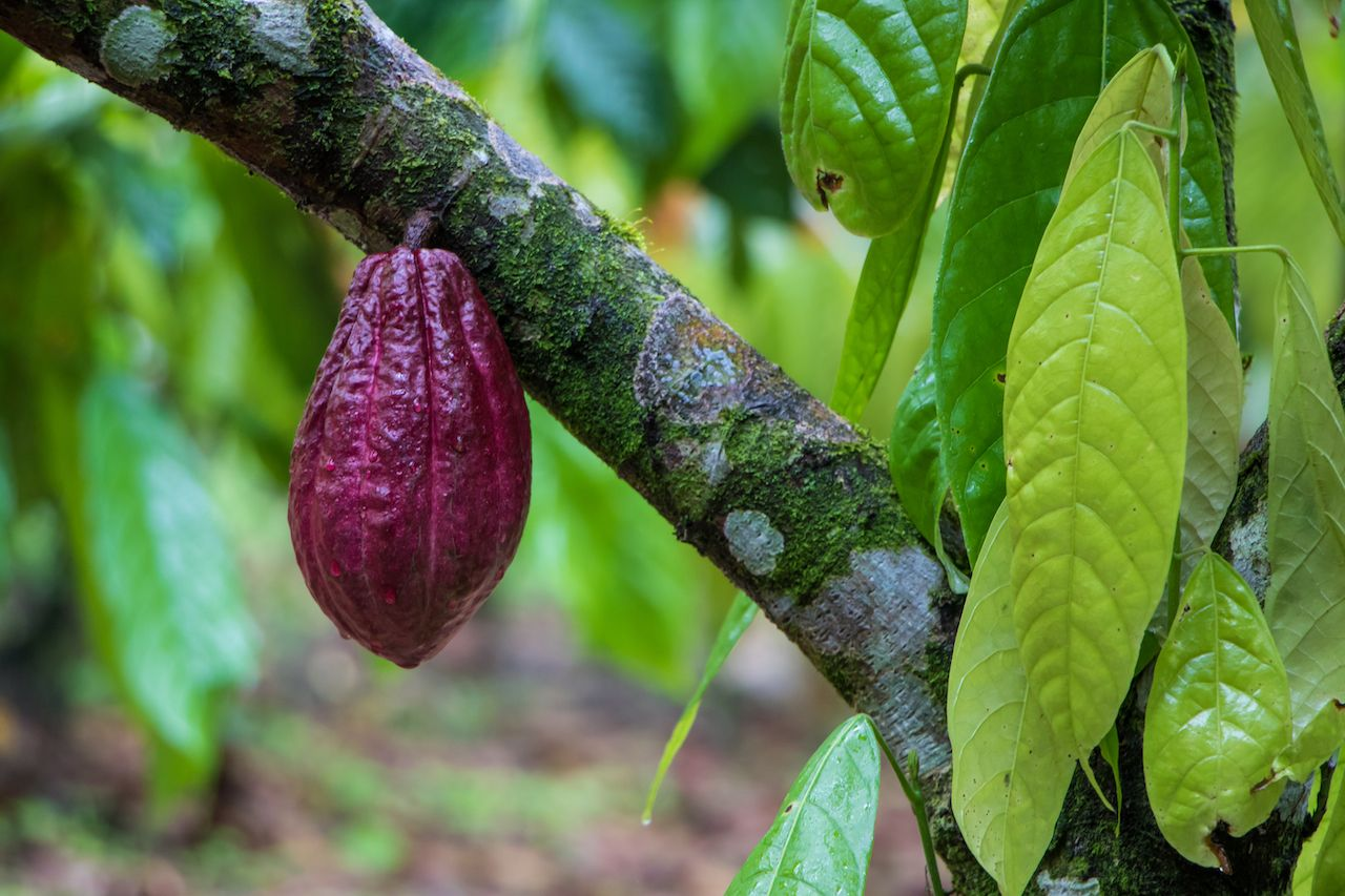 Cacao pod growing on a cacao tree in Costa Rica