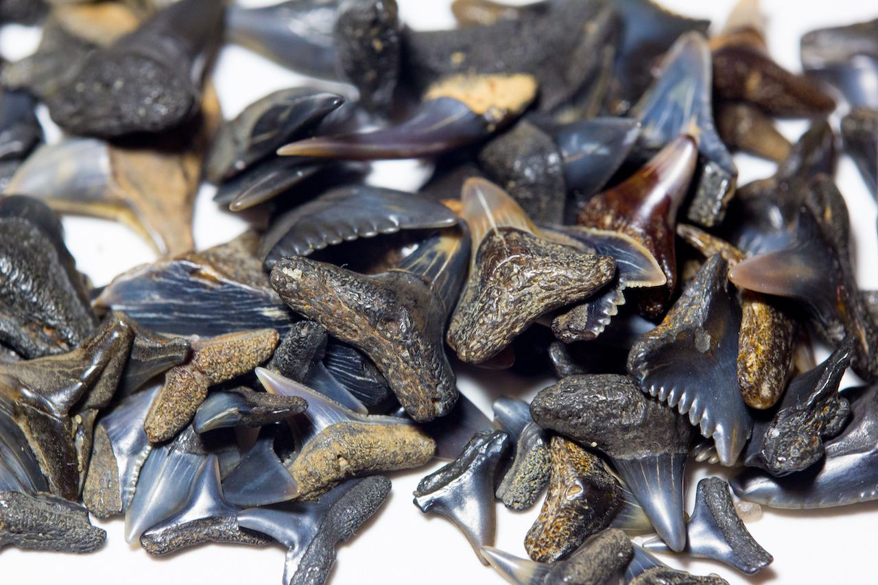Close up of a pile of shark teeth