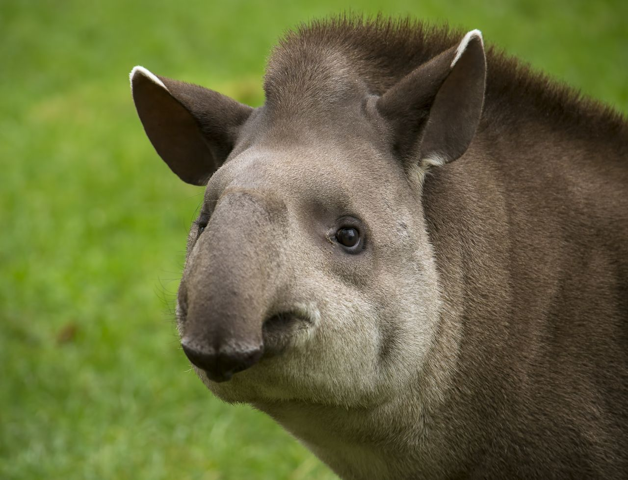 Closeup portrait of a tapir looking into the camera