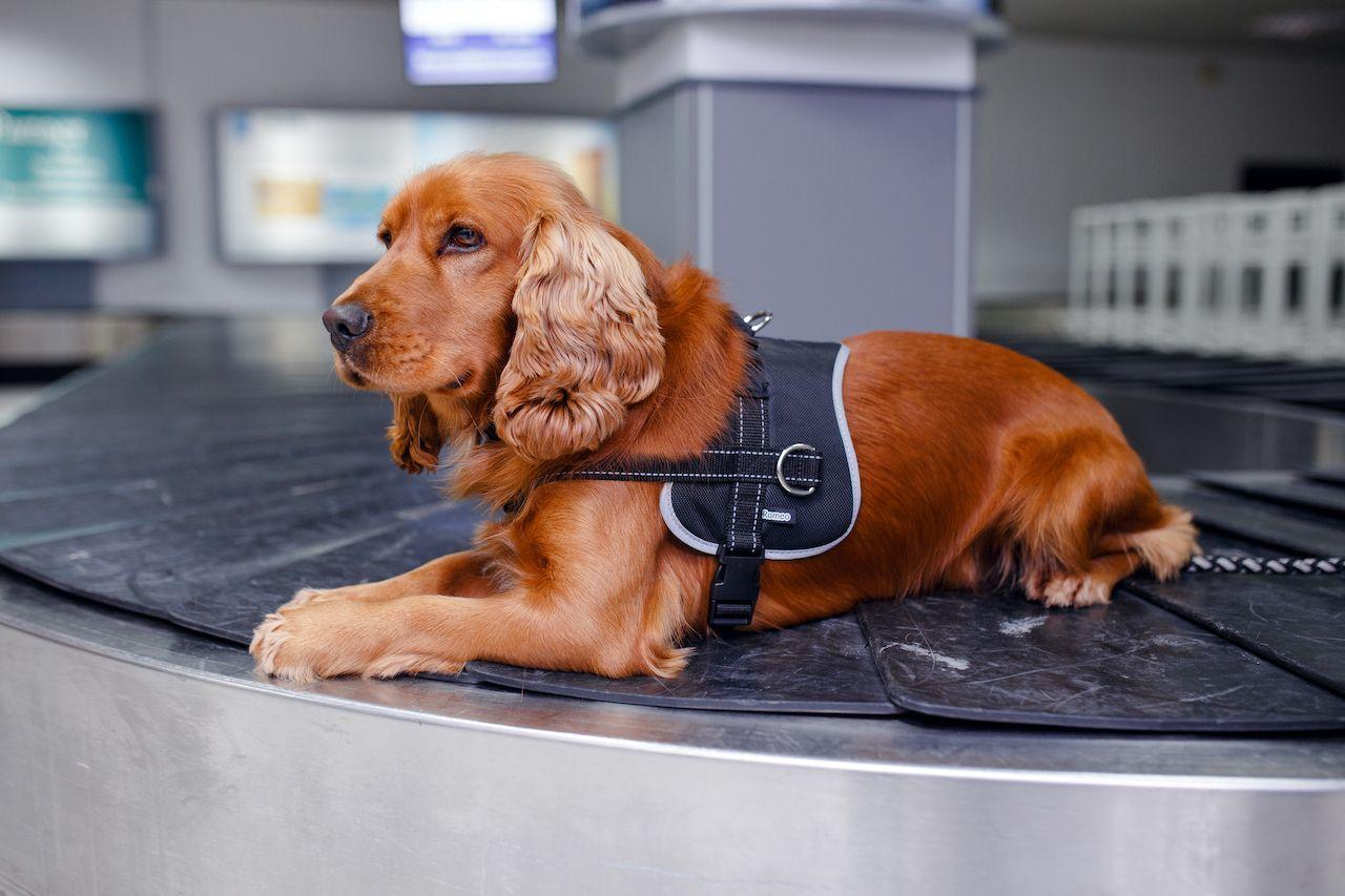 TSA to use floppy ear dogs