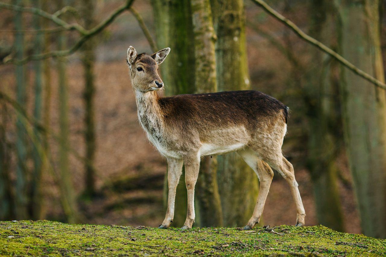 Female Deer in a beautiful forest in Denmark