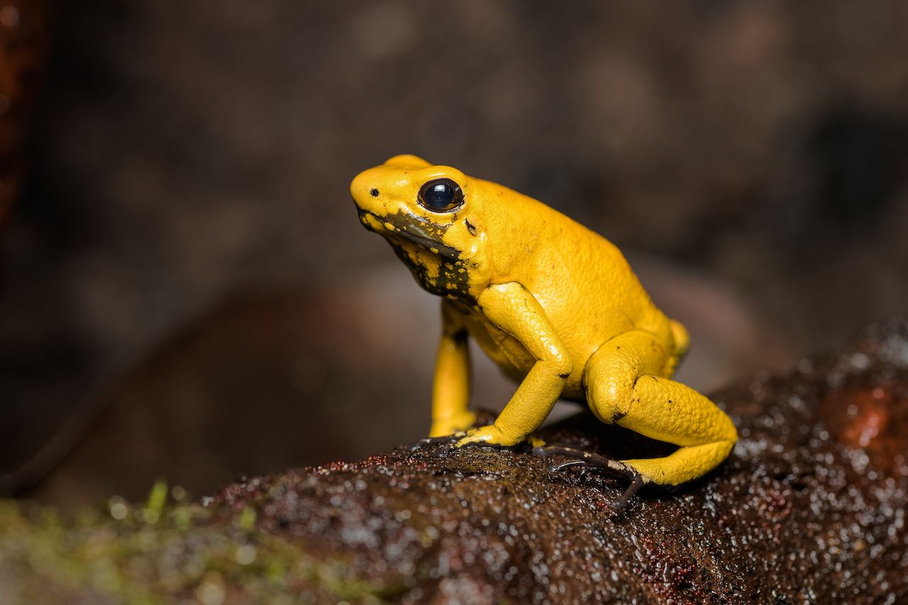 Golden poison frog sitting on a fallen log