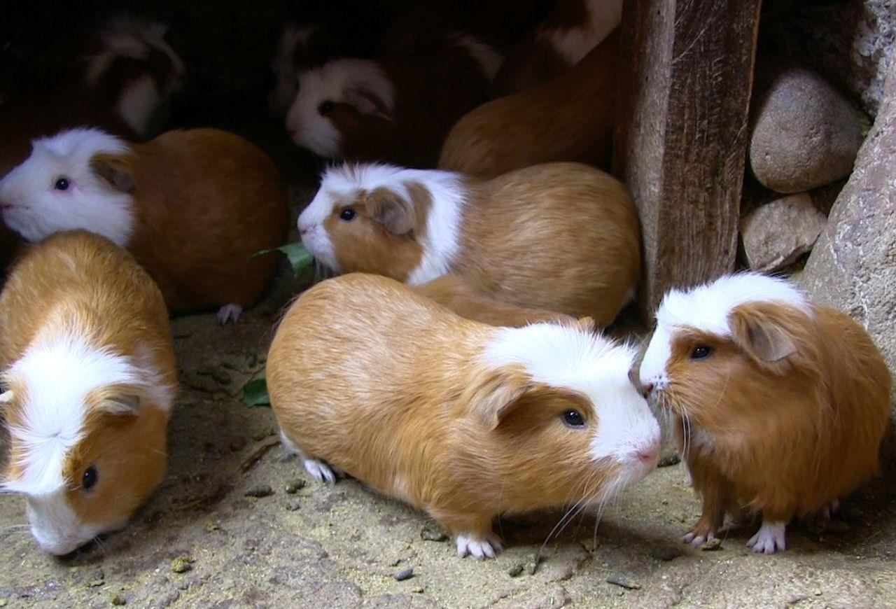 Eating guinea pig in Peru