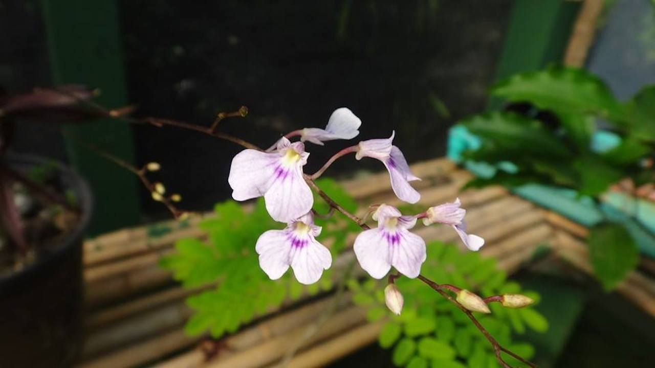 Light purple orchid at the Monteverde Orchid Garden