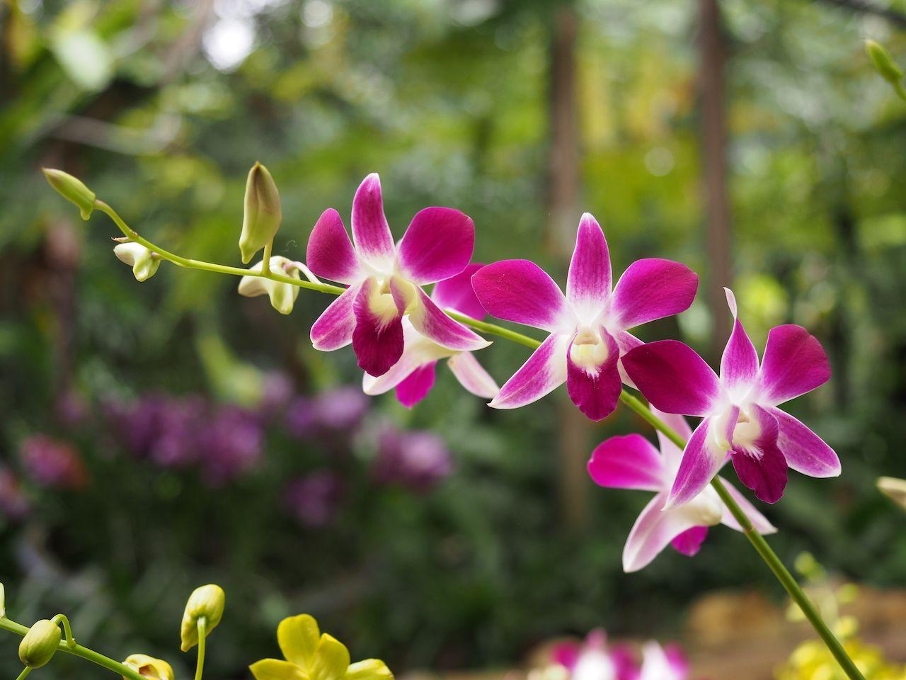 Pink orchid at the Perdana Botanical Garden, Kuala Lumpur, Malaysia