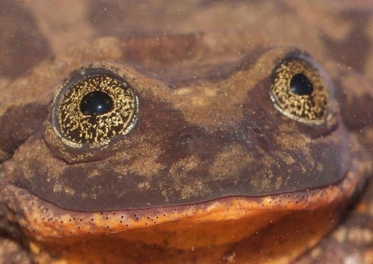 World's loneliest frog found a mate