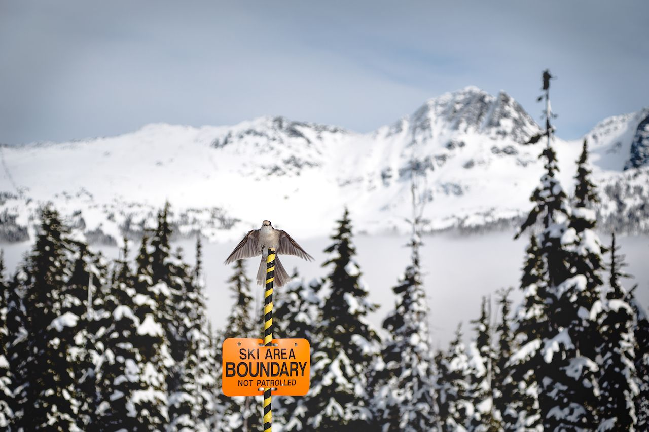 Whiskey Jack bird sitting atop a ski boundary sign with Blackcomb Mountain in the background