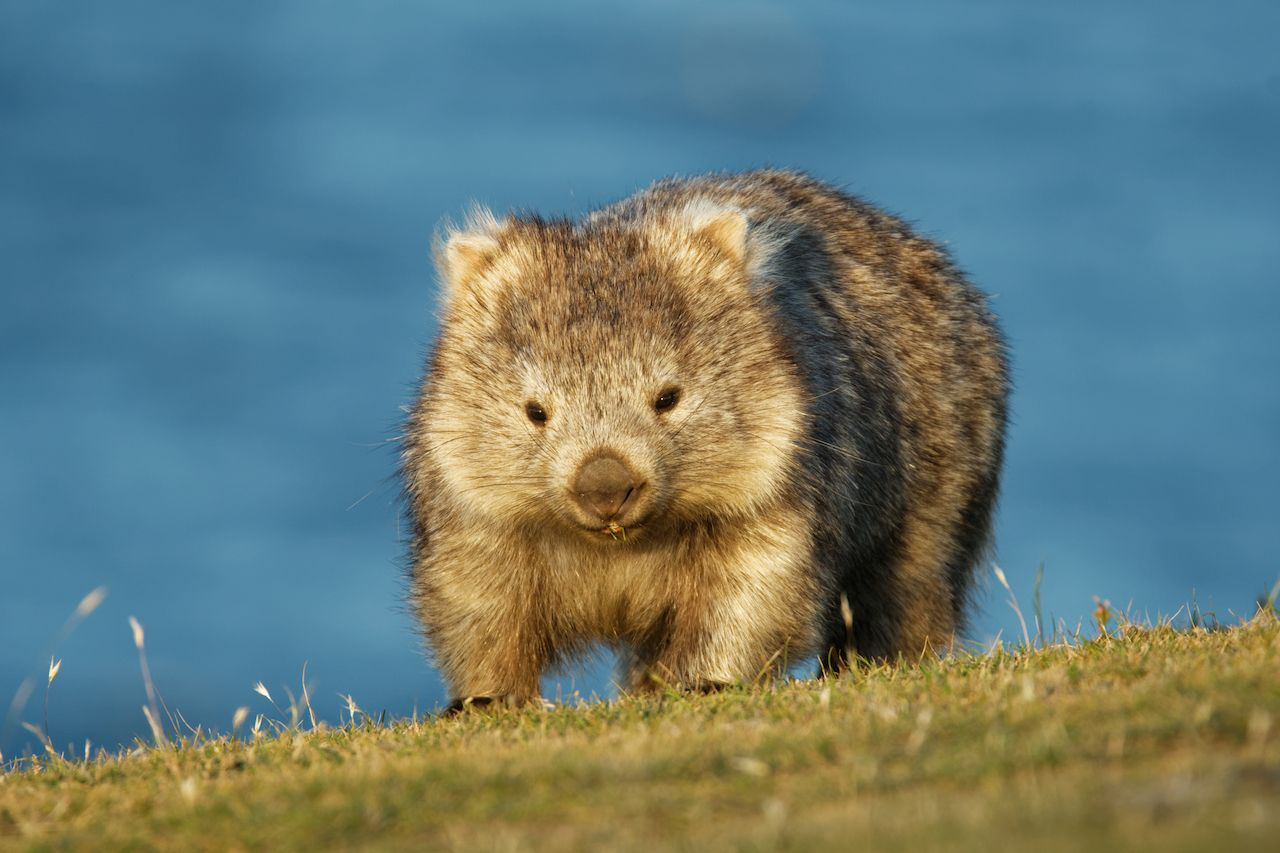 Tourist pledge for no wombat selfies