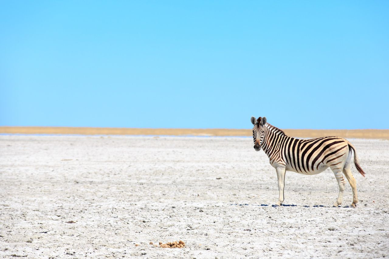 Zebras in The Great Salt Pans in Botswana