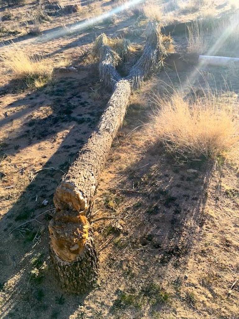 chopped down Joshua tree