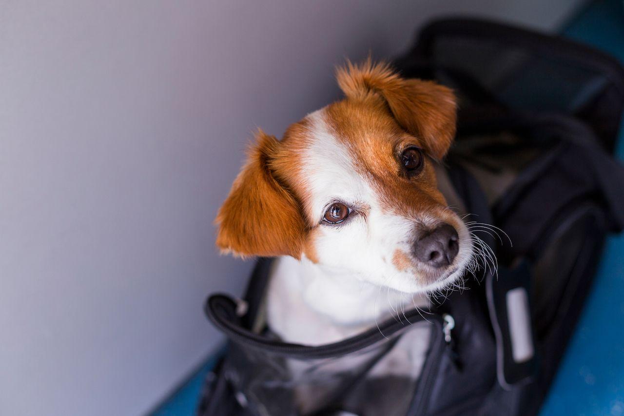 United bans emotional support animal
