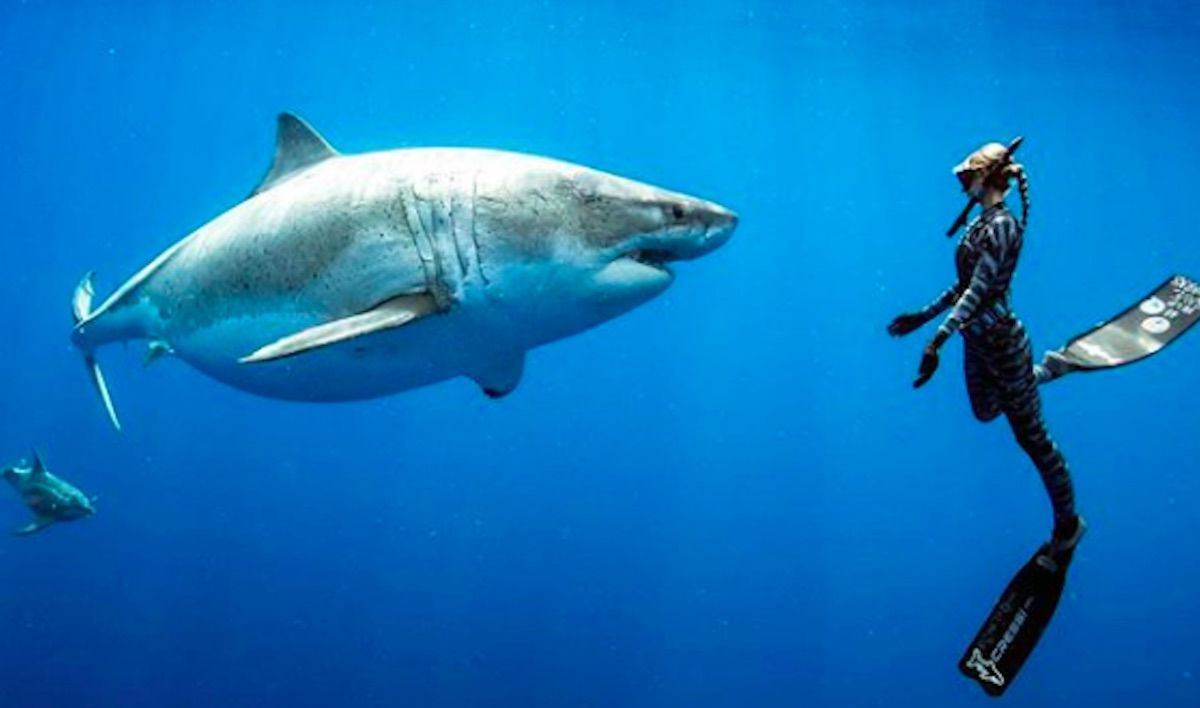 Divers in Hawaii swim with what may be the largest great white shark ever