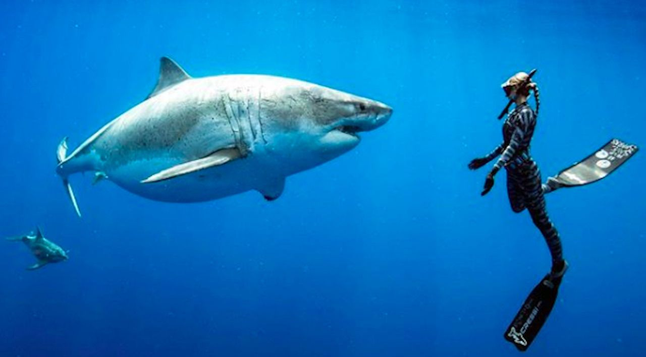 Massive great white shark in Hawaii