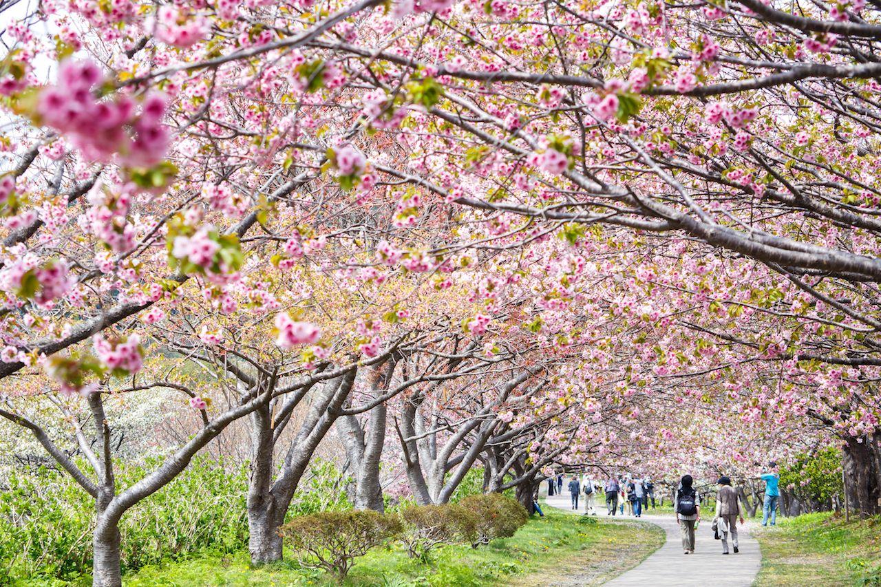 spring sakura cherry blossoms at Matsumae Castle in Hokkaido
