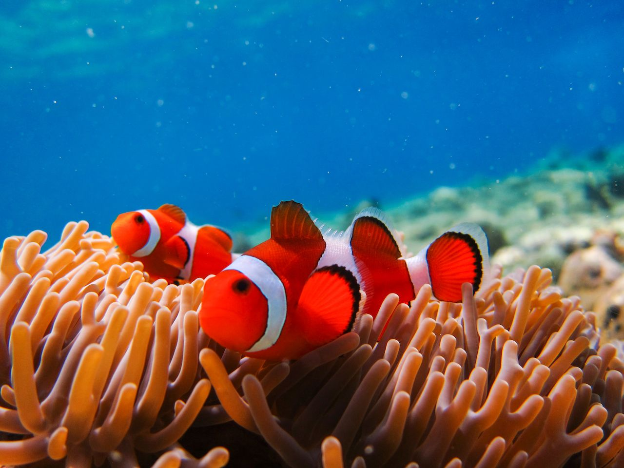 Anemone fish at underwater garden of Menjangan Island in Bali