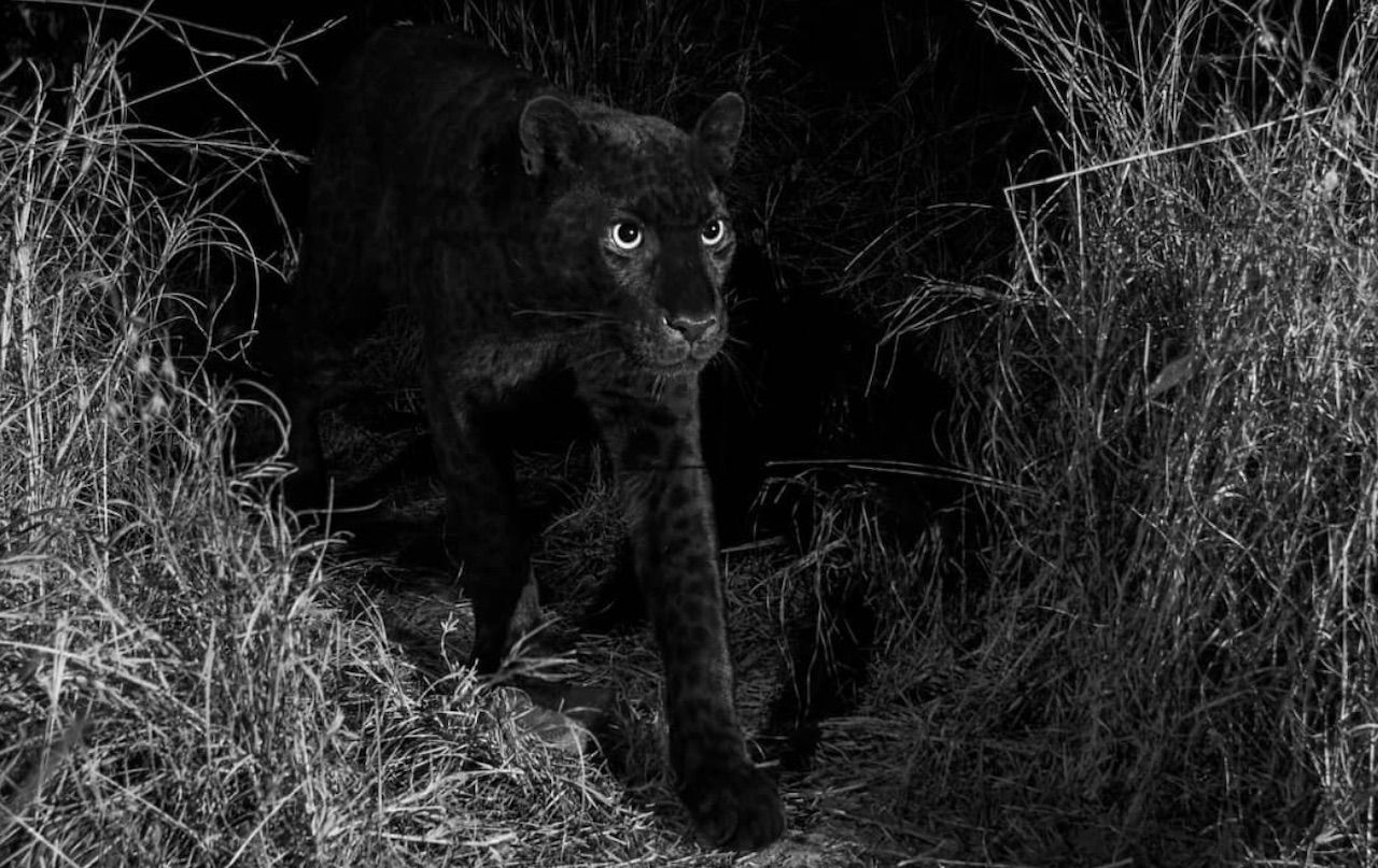 Black panther seen in Africa
