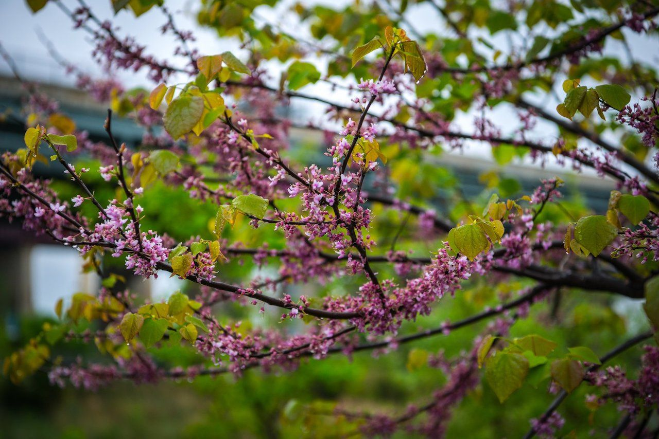 Cherry blossoms at Randall's Island
