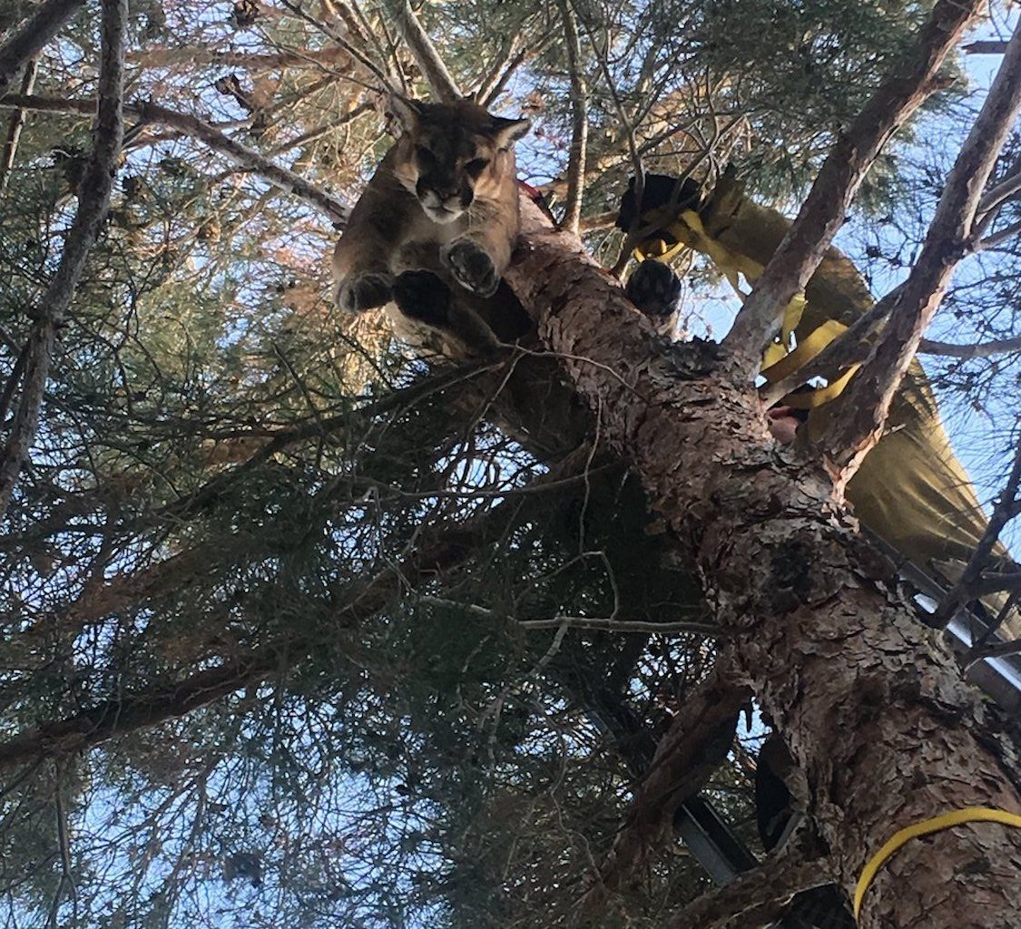 Cougar harnessed and being lowered down a tree