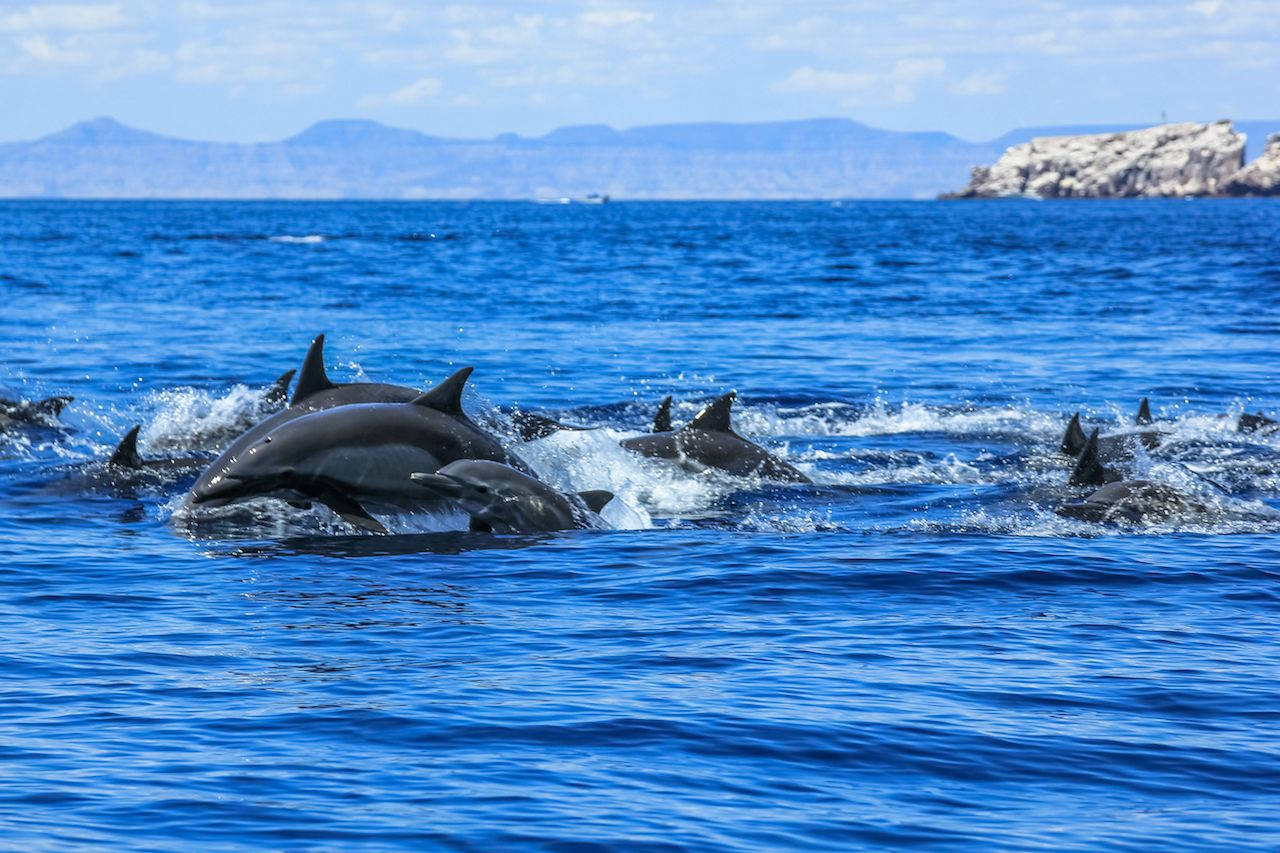 Dolphins jumping in the water in Baja California