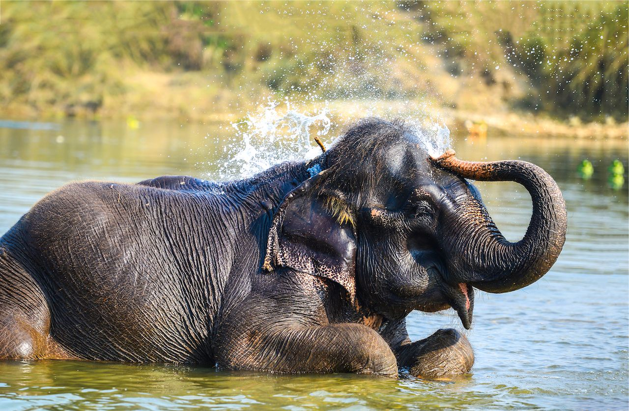 Elephant watering himself with water