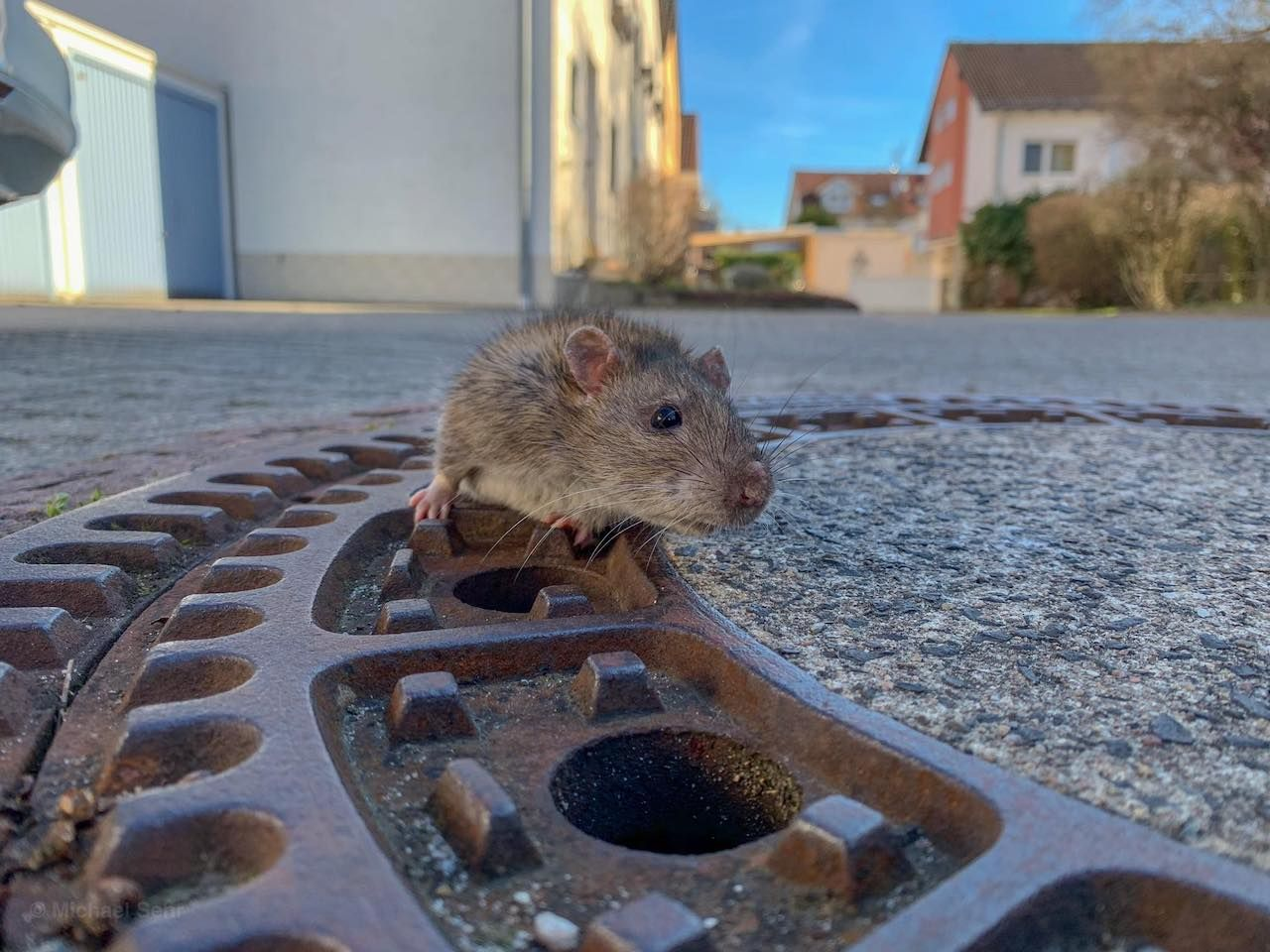 Fat rat stuck in manhole in Germany