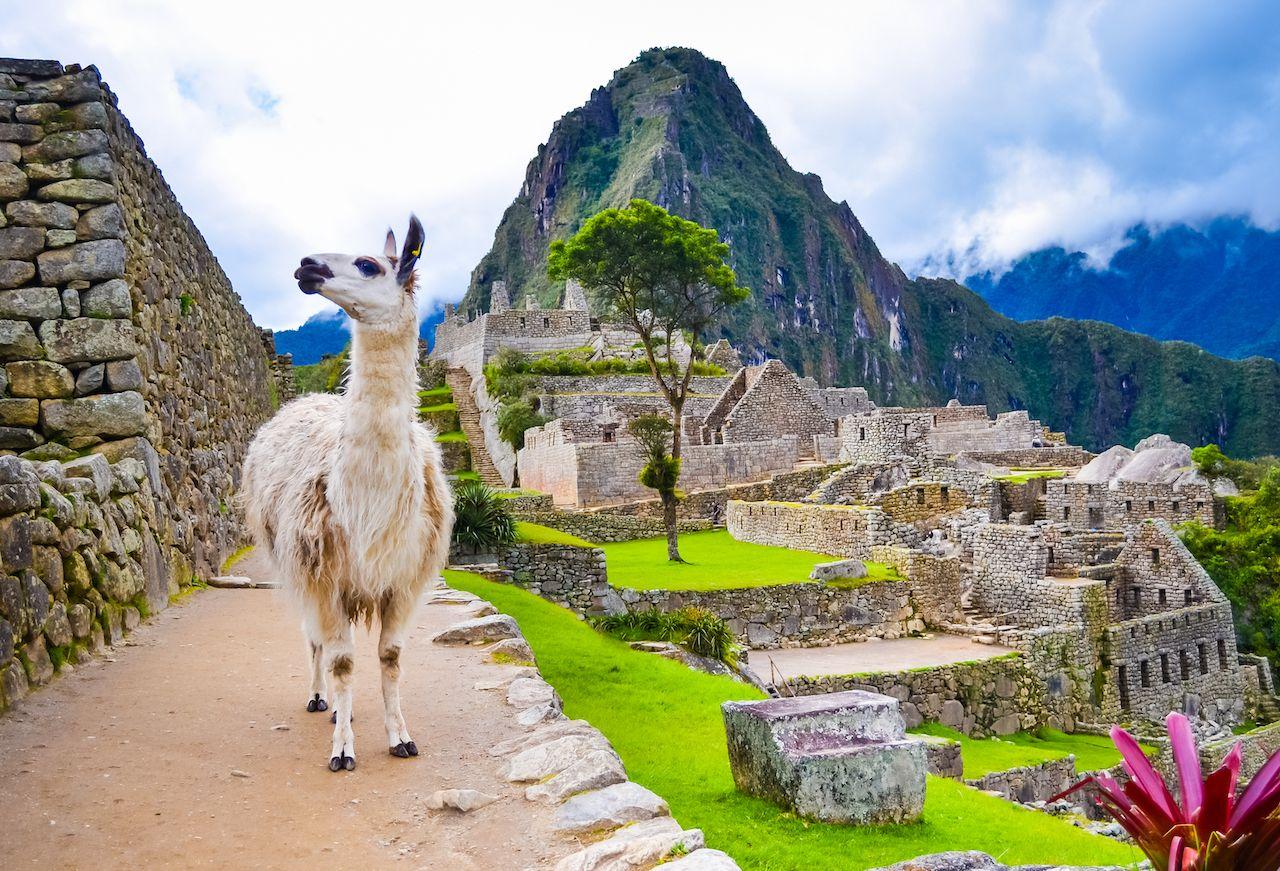 Funny white lama standing in Machu Picchu