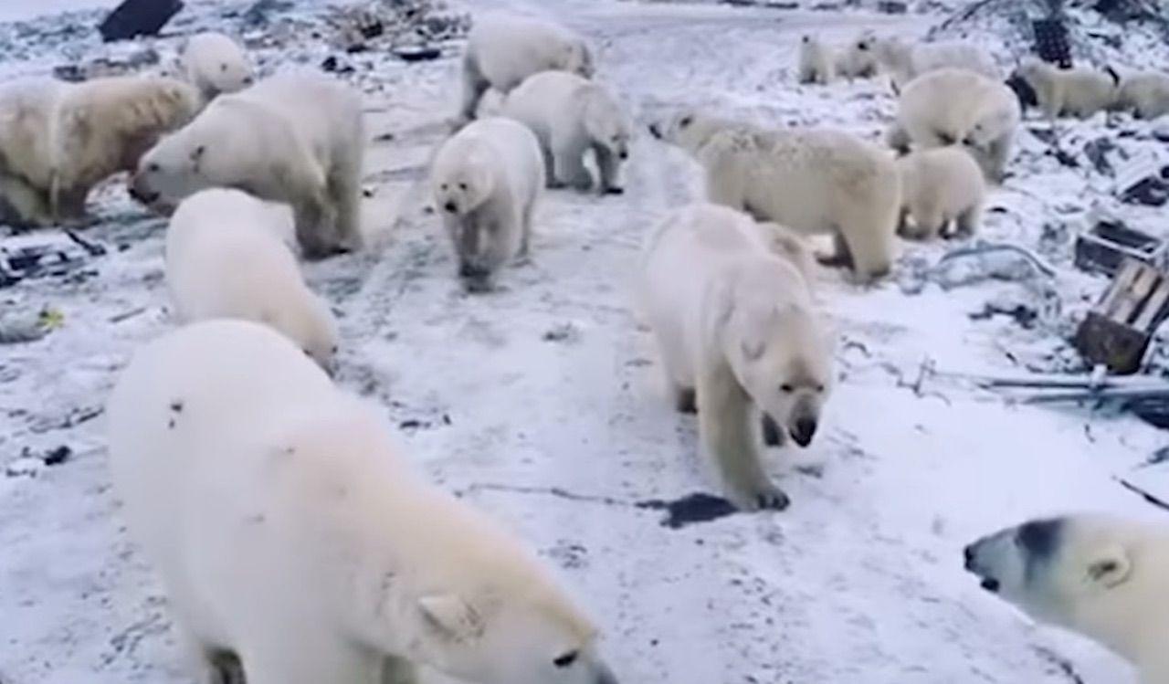 Polar bears besiege Russian islands