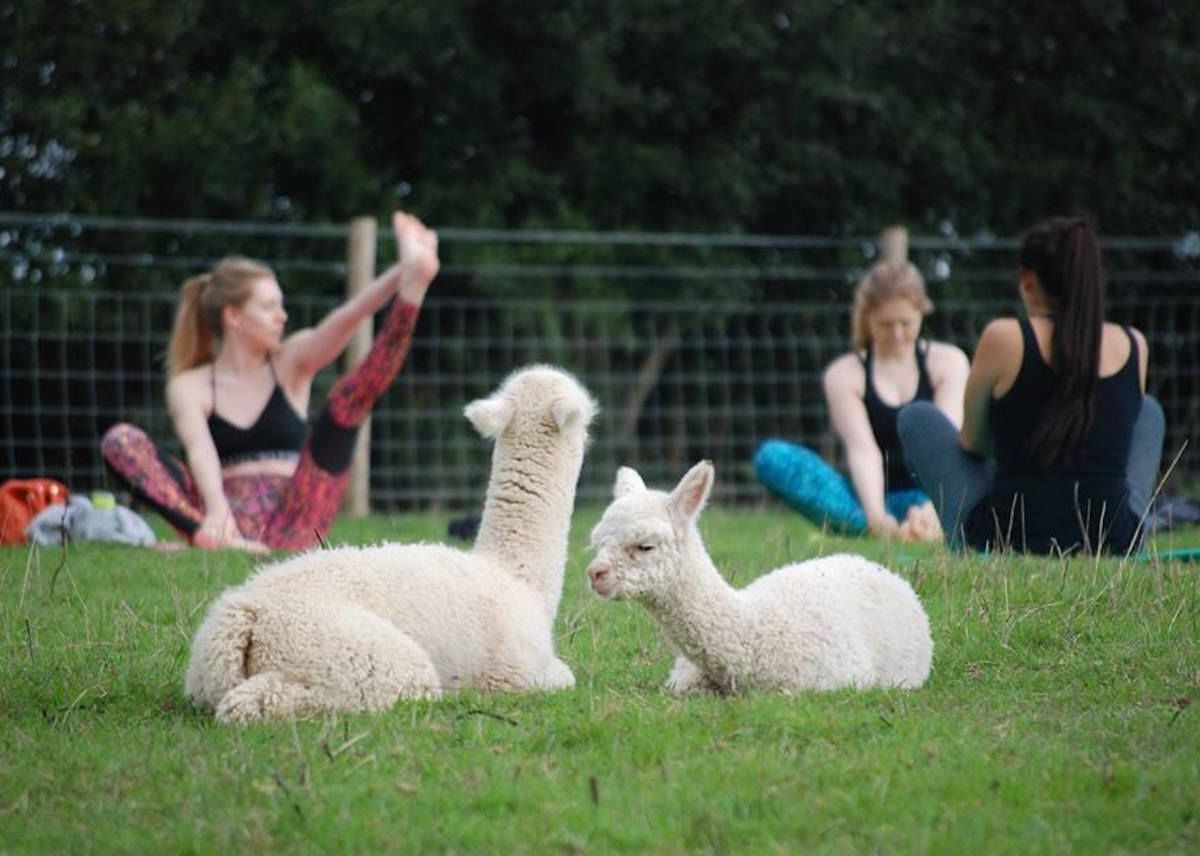 Alpaca yoga is a thing at this farm in England, and it's adorable