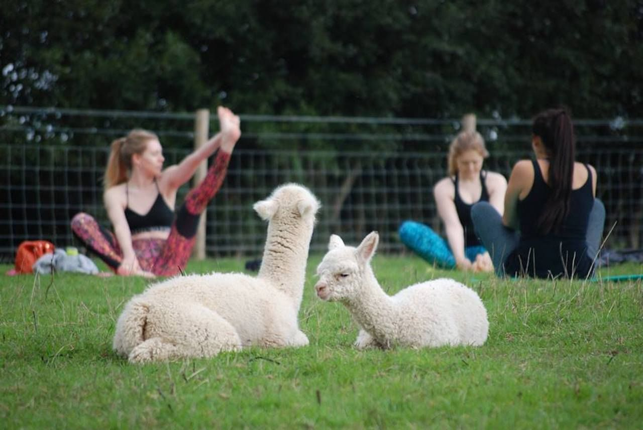Disclaimer: The animals don't do headstands.. The post Alpaca yoga is a thing at this farm in England, and it's adorable appeared first on Matador Network..