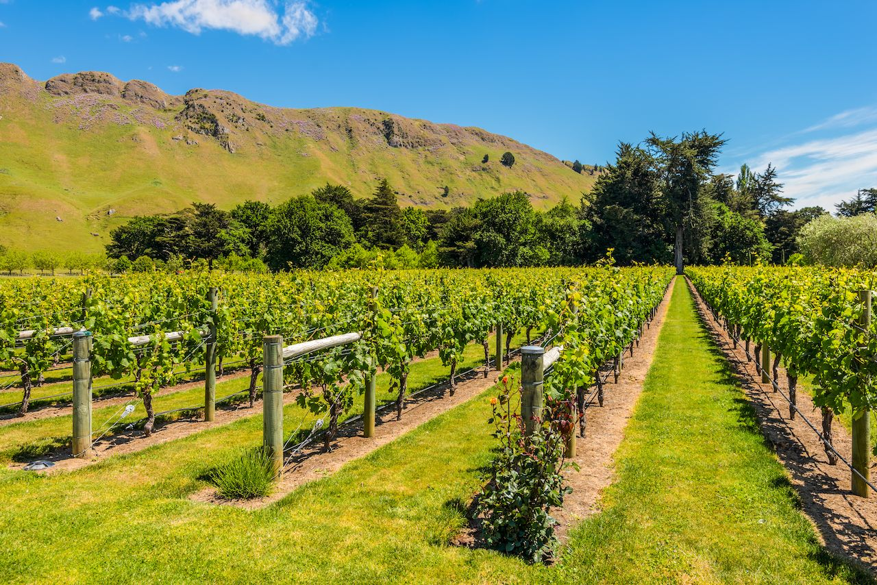 Vineyard, North Island, New Zealand
