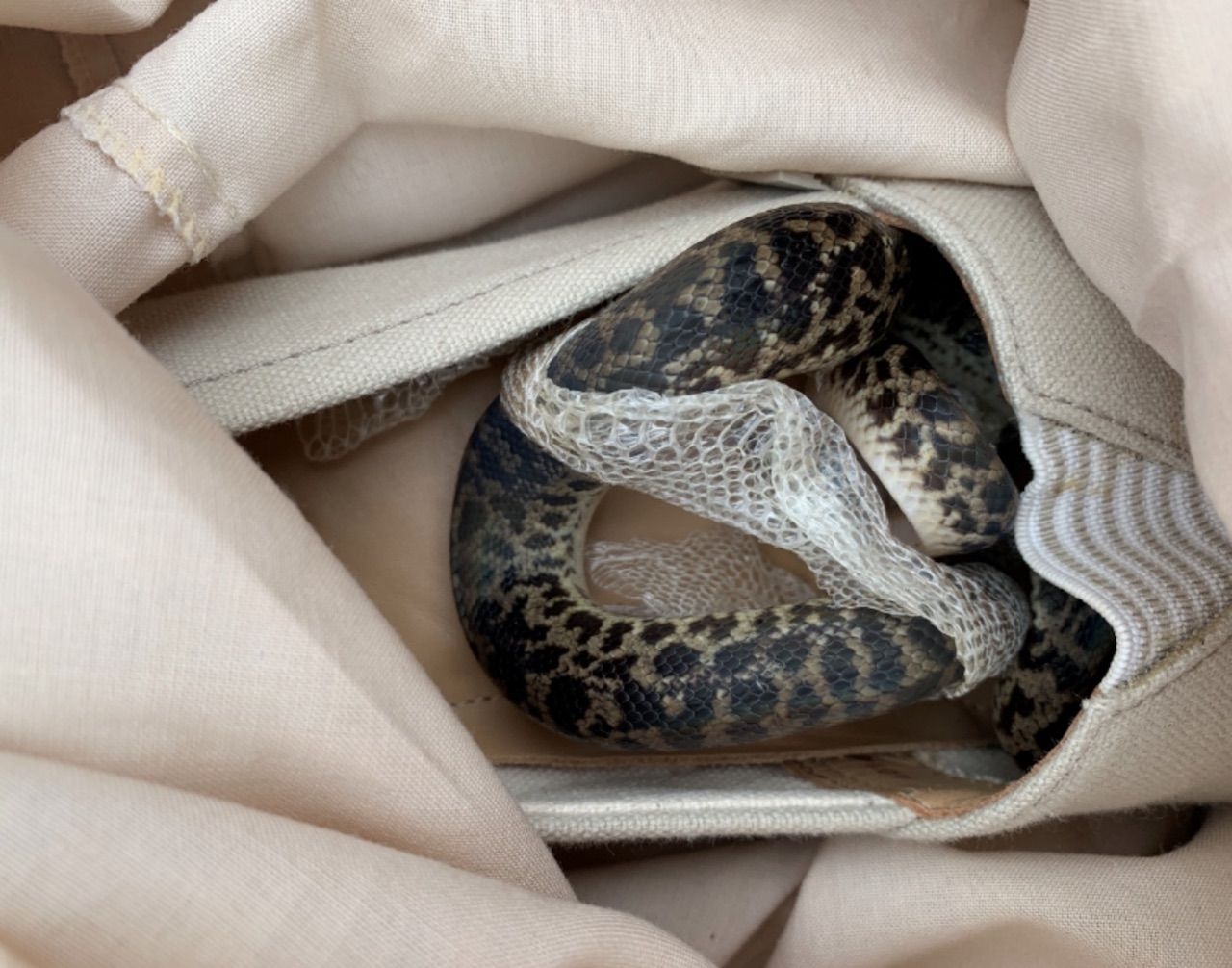 Python hid in woman's plane luggage