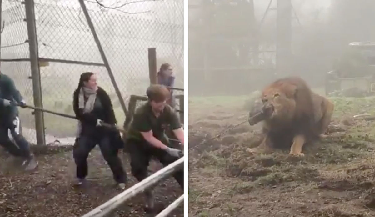 Zoo under fire for offering tug-of-wars with a lion
