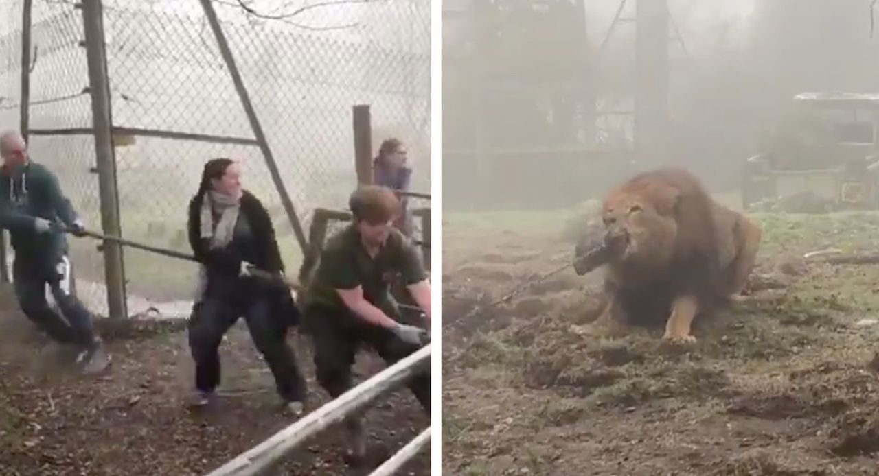 Zoo offering tug-of-wars with a lion