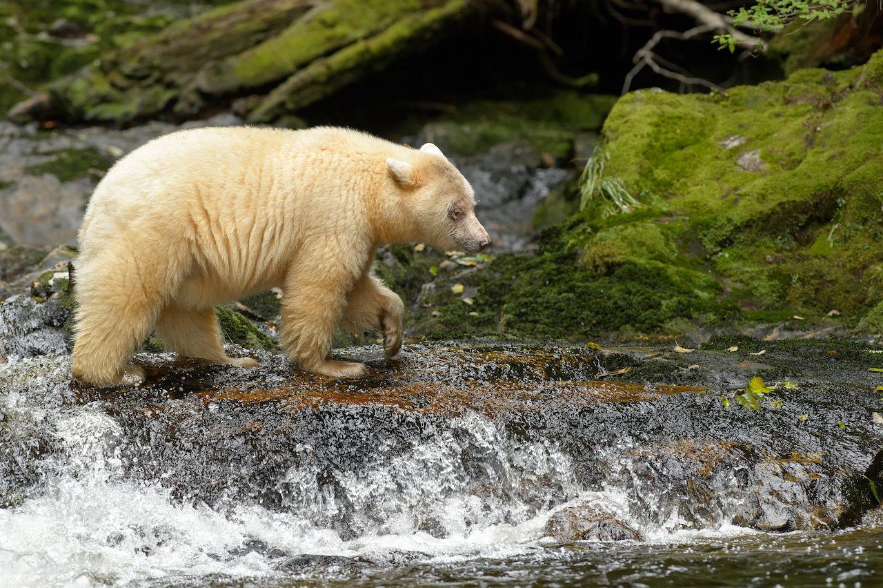 white spirit bear in the rainforest
