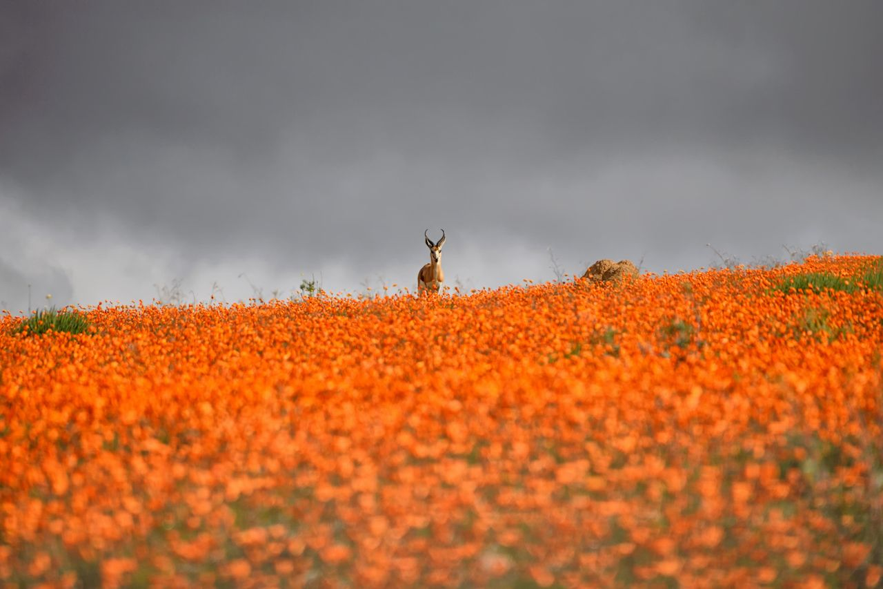 A Springbok Ram stands on a ridge carpeted with orange Namaqua Daisies