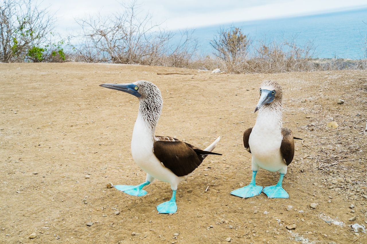 A couple of blue foot boobies in Isla de la Plata, Puerto Lopez, Ecuador