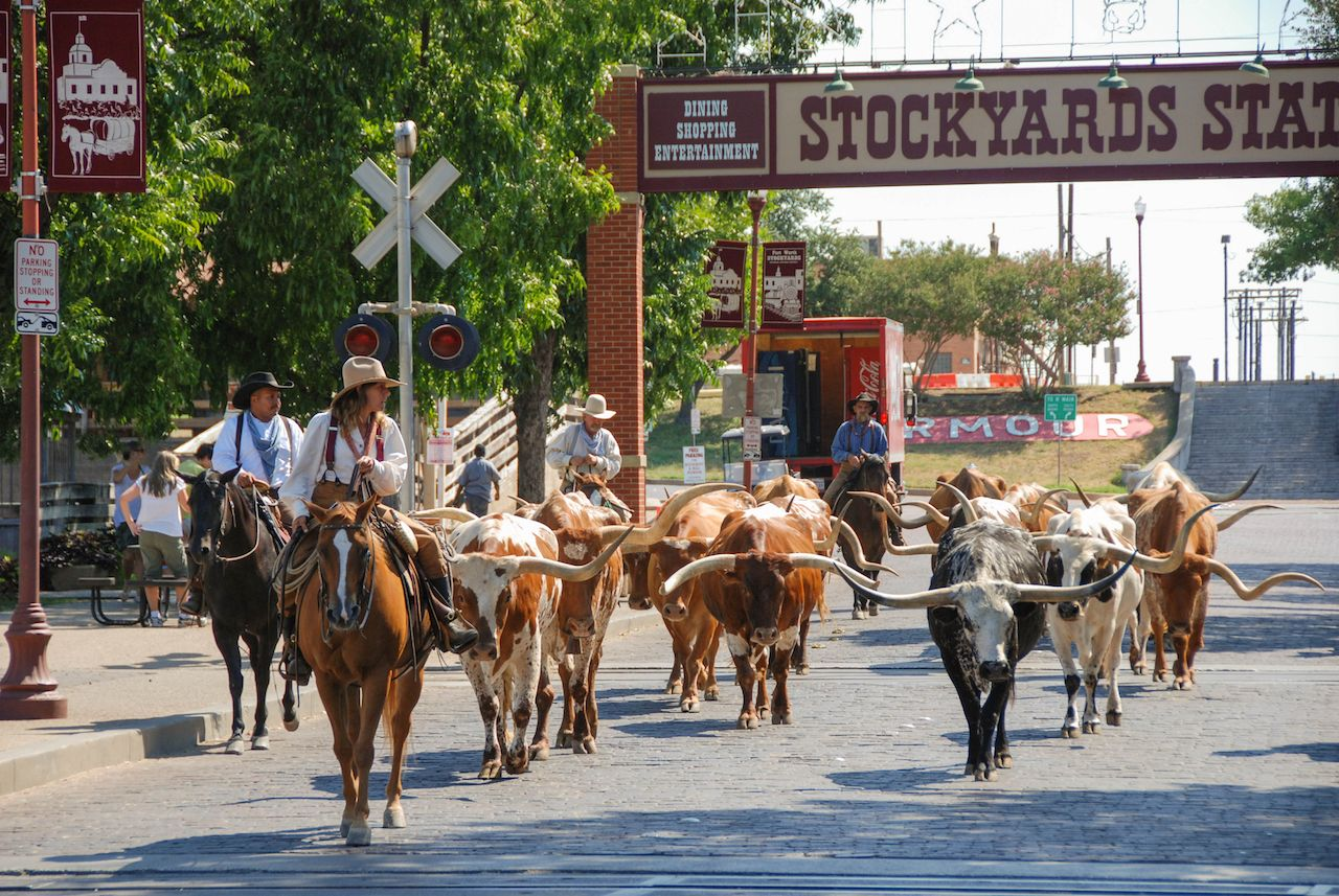 A herd of cattle parading through the Fort Worth Stockyards accompanied by cowboys on horseback