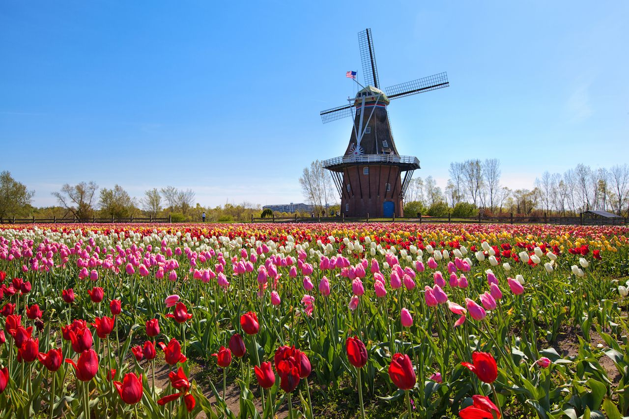 An authentic wooden windmill from the Netherlands rises behind a field of tulips in Holland Michigan at Springtime