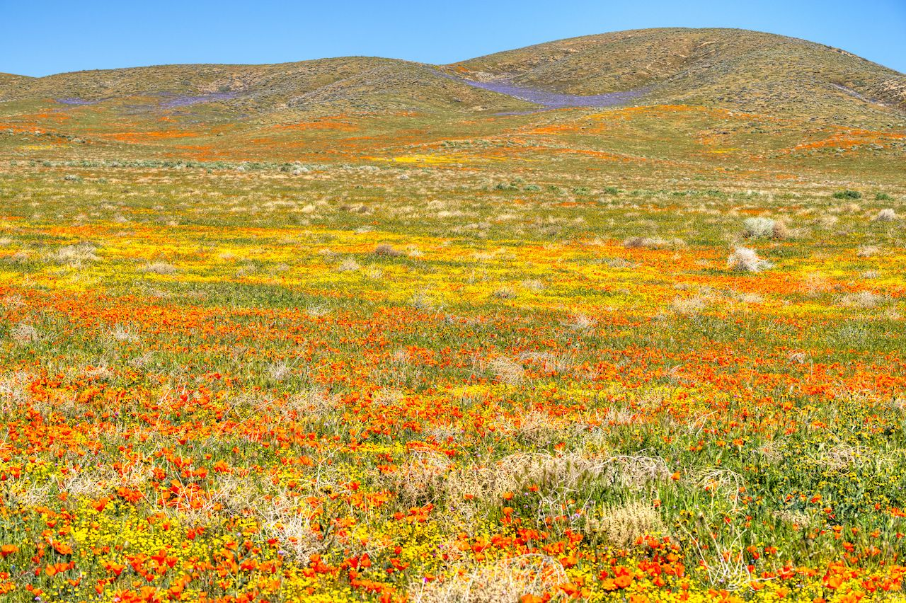 Blooming Antelope Valley in California