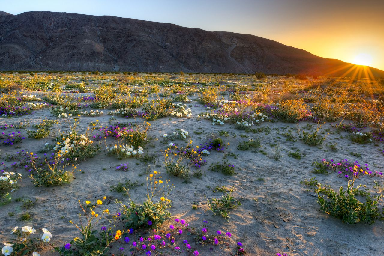 Blooming Desert near Borrego Springs