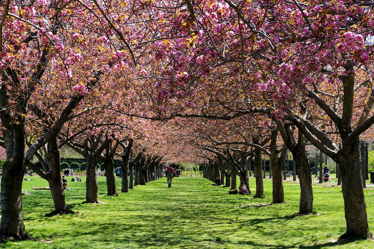 Colonnade of cherry blossom trees in full bloom at the Brooklyn Botanic Garden, New York City