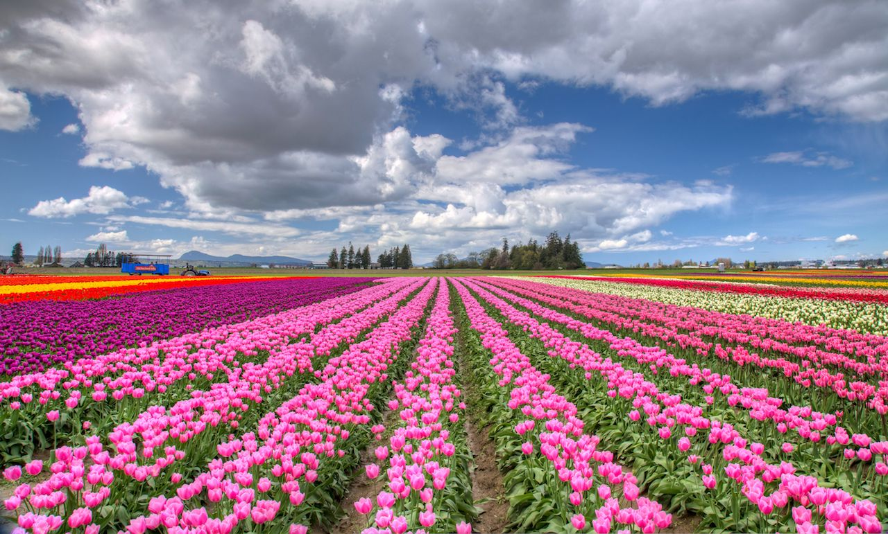 Colorful Tulip Landscape