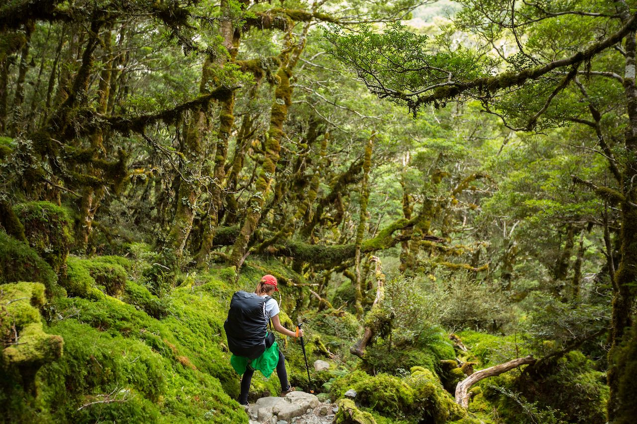 Hiker with backpack walking in native beech forest on Routeburn Track, New Zealand